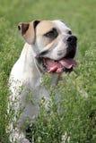 Amerikanische Bulldogge in der Natur lizenzfreies stockbild