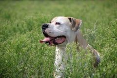 Amerikanische Bulldogge in der Natur lizenzfreie stockfotos