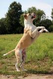 Amerikanische Bulldogge in der Natur stockbild