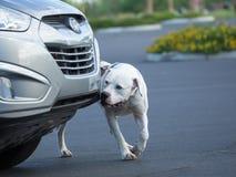 Amerikanische Bulldogge, die Gerucharbeit erledigt Stockfotos