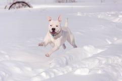 Amerikanische Bulldogge, die in Schnee läuft Stockbild