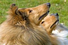Amerikanische Colliehunde Stockfoto