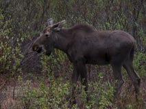 Amerikanische Elche - eurasische Elche Stockfotografie