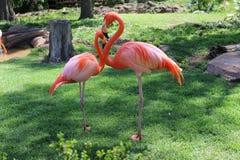 Amerikanische Flamingos lizenzfreies stockbild