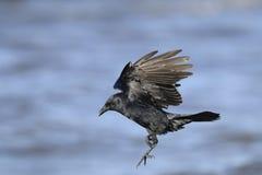 Amerikanische Krähe, Corvus brachyrhynchos Lizenzfreie Stockfotos