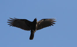 Amerikanische Krähe im Flug Stockfotos