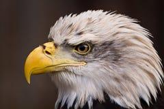 Amerikanische Nahaufnahme des kahlen Adlers Stockbild