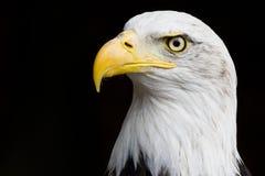 Amerikanische Nahaufnahme des kahlen Adlers Stockfotografie