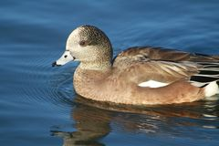 Amerikanische Pfeifente Drake Duck Lizenzfreie Stockfotografie