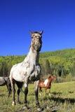 Amerikanische Quarterhorsen auf einem Gebiet, Rocky Mountains, Colorado Stockfotografie
