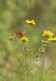 Amerikanische Schmetterlinge lizenzfreies stockbild