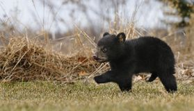 Amerikanische schwarze Bärenjung-Lack-Läufer über Gras lizenzfreies stockfoto