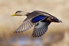 Amerikanische schwarze Ente Stockfoto
