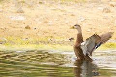 Amerikanische schwarze Ente (Anekdoten rubripes) Stockfotografie