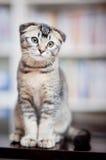 Amerikanische shorthair Katze Lizenzfreies Stockbild