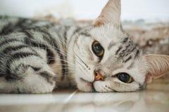 Amerikanische Shorthair Katze Stockfoto