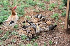 Amerikanische Spiel-Henne mit Brut von Küken stockfoto