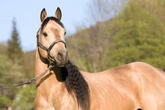 Amerikanische Viertelpferd Stallionaufstellung Lizenzfreie Stockfotografie