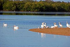 Amerikanische weiße Pelikane Lizenzfreie Stockfotografie
