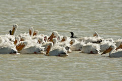 Amerikanischer weißer Pelikan Lizenzfreie Stockfotografie