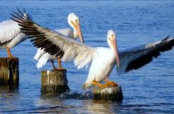 Amerikanische weißer Pelikan-Landung stockfotografie