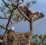 Amerikanische Weißkopfseeadlereltern auf Nest Stockfotos