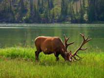 Amerikanische wild lebende Tiere Stockbild