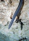 Amerikanischer Aal gleitet von oben Stockbild