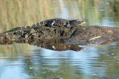 Amerikanischer aalender Alligator Stockfotografie