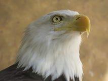 Amerikanischer Adler stockbilder