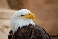 Amerikanischer Adler Lizenzfreie Stockfotografie