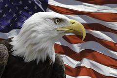Amerikanischer Adler mit Markierungsfahne Stockfoto
