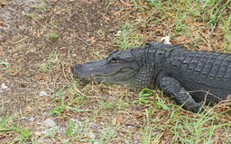 Amerikanischer Alligator Lizenzfreies Stockbild