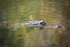 Amerikanischer Alligator Lizenzfreie Stockbilder
