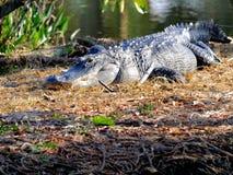 Amerikanischer Alligator, der in den Sumpfgebieten, Florida stillsteht Lizenzfreie Stockfotografie