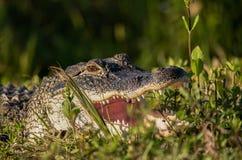 Amerikanischer Alligator, der mit offenem breitem des Munds sich sonnt Stockbild