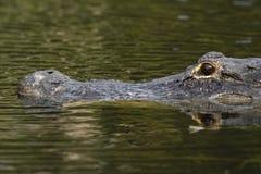 Amerikanischer Alligator (Mississipi-Alligator) in Sumpfgebiet-Na Lizenzfreie Stockbilder