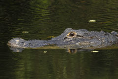 Amerikanischer Alligator (Mississipi-Alligator) in Sumpfgebiet-Na Lizenzfreie Stockfotografie