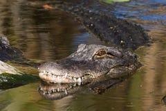 Amerikanischer Alligator steht es ` s Kopf Ende der Nachmittagssonne still Lizenzfreies Stockfoto