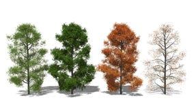 Amerikanischer Amberbaum (Liquidambar styraciflua) Four Seasons Στοκ φωτογραφία με δικαίωμα ελεύθερης χρήσης