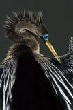 Amerikanischer Anhinga (Anhinga Anhinga) Stockbild