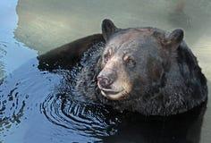 Amerikanischer Bär Stockfoto