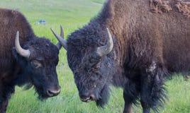 Amerikanischer Büffel Batteling, der Hörner zuschließt stockfoto