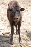 Amerikanischer Büffel Bison Calf Lizenzfreies Stockfoto