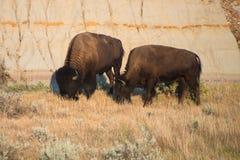 Amerikanischer Büffel, Bison, Stier, Natur stockbild