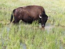 Amerikanischer Büffel, der ein Bad im Wasser nimmt lizenzfreies stockfoto