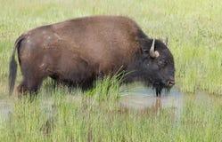 Amerikanischer Büffel in der Wasserpfütze im hohen grünen Gras stockfotografie