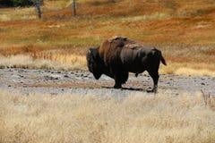 Amerikanischer Büffel des Bisons durch unteres Becken von Yellowstone Nationalpark Lizenzfreies Stockbild