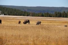 Amerikanischer Büffel des Bisons in einer Wiese durch unteres Becken von Yellowstone Nationalpark Stockbilder