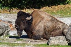 Amerikanischer B?ffel bekannt als Bison, Bosbison im Zoo lizenzfreies stockbild